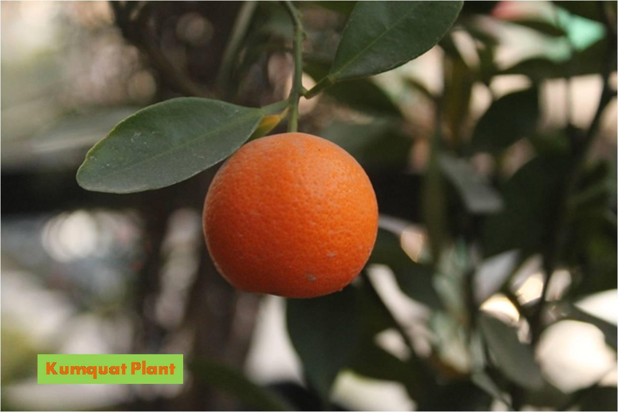 Eggless avocado cupcake with yogurt frosting and kumquat for Plante kumquat