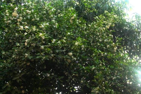 sweet lemon tree
