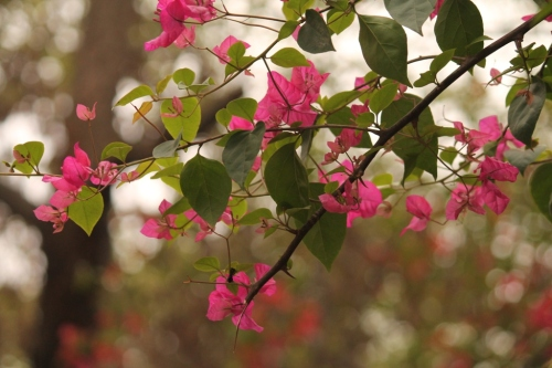 bougainvilla plant